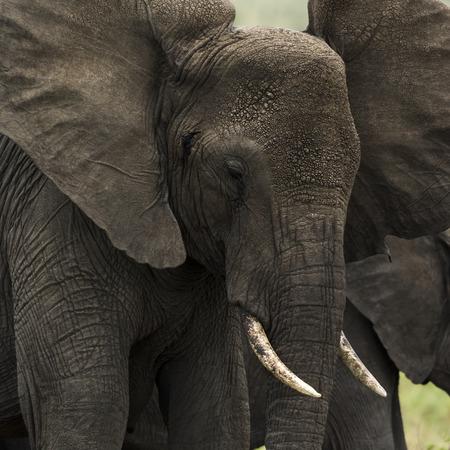 elephant head: Close-up of an elephant, Serengeti, Tanzania, Africa