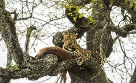 prey: Leopard in a tree with its prey, Serengeti, Tanzania, Africa