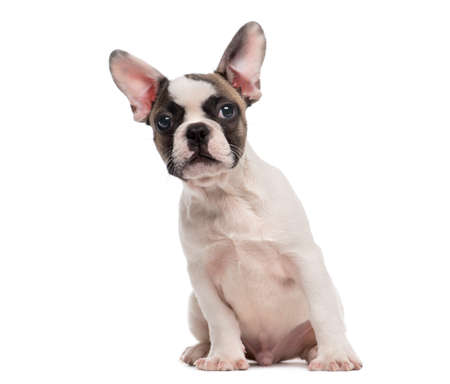 french bulldog puppy: French Bulldog (3 months old) sitting in front of a white background