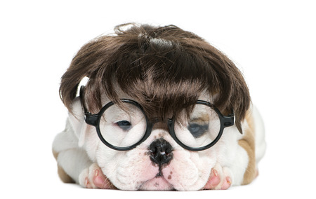 english bulldog puppy: English bulldog puppy wearing a wig and glasses in front of white background