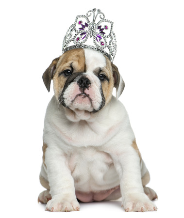english bulldog puppy: English bulldog puppy wearing a diadem in front of white background