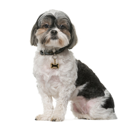 shih tzu: Shih Tzu (3 years old) in front of a white background Stock Photo