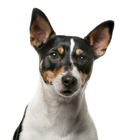 jack russell: Jack Russell Terrier (7 years old) in front of a white background