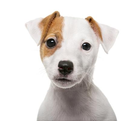 Cachorro de Jack Russell Terrier (2 meses) delante de un fondo blanco