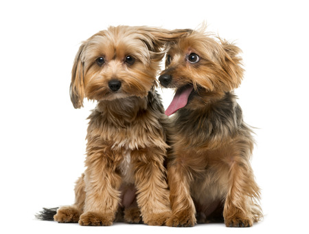terrier dog: Yorkshire terrier in front of a white background