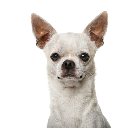 2 years old: Close-up of a Chihuahua (2 years old) Stock Photo