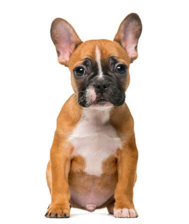 french bulldog: French Bulldog puppy in front of white background