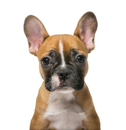 french bulldog puppy: French Bulldog puppy in front of white background