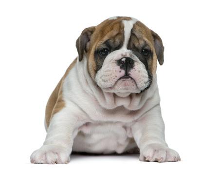 english bulldog puppy: English bulldog puppy in front of white background