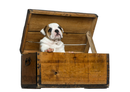 english bulldog puppy: English bulldog puppy in a wooden chest in front of white background Stock Photo