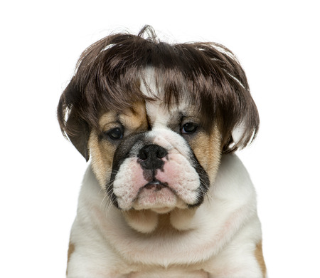 english bulldog puppy: English bulldog puppy wearing a wig in front of white background Stock Photo