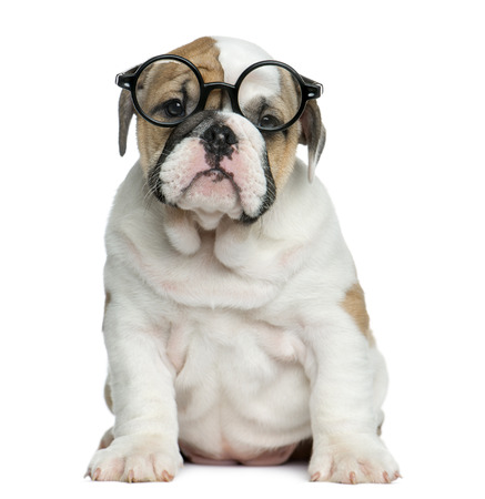 english bulldog puppy: English bulldog puppy wearing glasses in front of white background