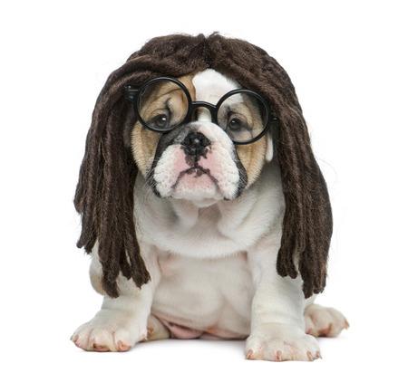 bulldog: Cachorro bulldog Inglés con una peluca rastas y gafas delante de fondo blanco
