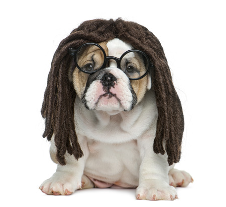 english bulldog puppy: English bulldog puppy wearing a dreadlocks wig and glasses in front of white background