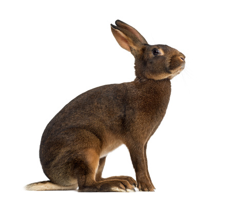 alert: Belgian Hare in front of a white background Stock Photo