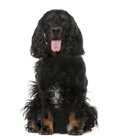 american cocker spaniel: American Cocker Spaniel (4 years old) in front of a white background