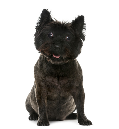 sightless: Old blind Cairn Terrier (12 years old) in front of a white background