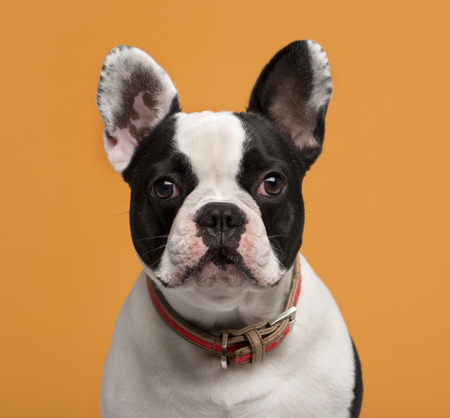 head collar: Close-up of a French Bulldog (1 year old) in front of an orange background