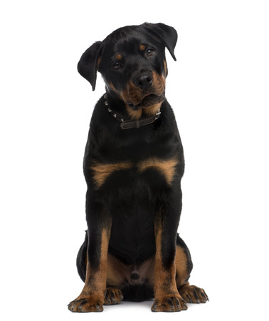 9 months old: Rottweiler (9 months old) sitting in front of a white background