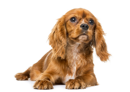 cavalier: Cavalier King Charles Spaniel (8 months old) in front of a white background Stock Photo
