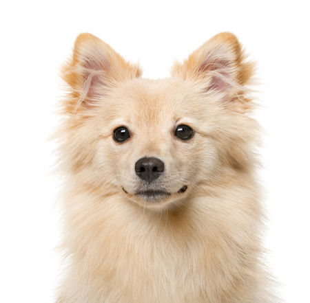 7 months: German Spitz (7 months old) in front of a white background