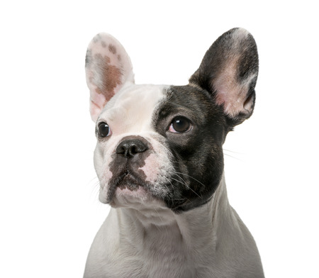 9 months: French Bulldog (9 months old) in front of a white background Stock Photo