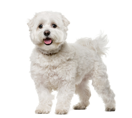 white maltese: Maltese (5 years old) in front of a white background Stock Photo