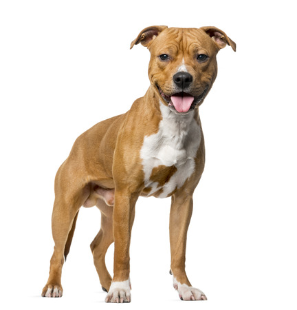 amstaff: American Staffordshire Terrier (8 months old) standing in front of a white background