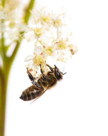 bee on white flower: Honey bee foraging in front of a white background Stock Photo