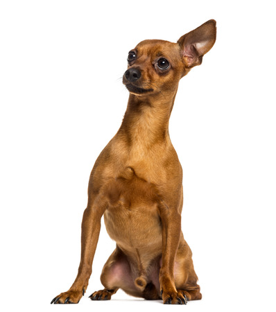 alert: Chihuahua sitting in front of a white background