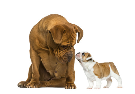 english bulldog puppy: Dogue de bordeaux looking at a French Bulldog puppy in front of a white background