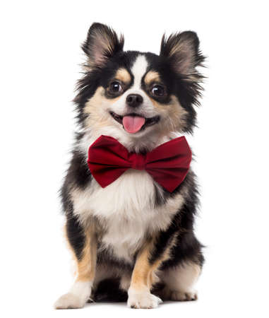red tie: Chihuahua sitting and wearing a bow tie in front of a white background
