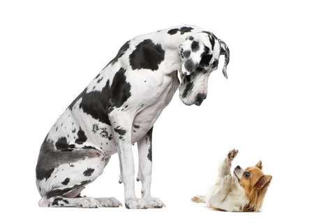 Great Dane sitting and looking at a Chihuahua in front of a white background Stock Photo