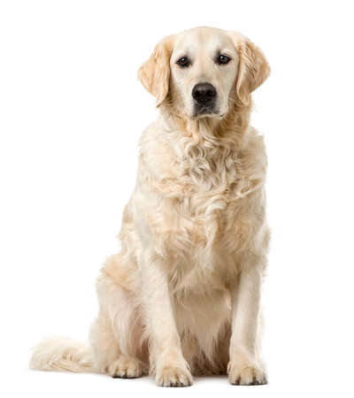 sit: Golden Retriever sitting in front of a white background Stock Photo