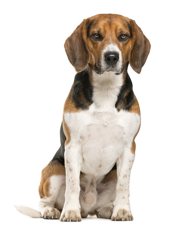 sullenly: Beagle sitting in front of a white background
