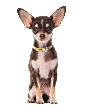 facing to camera: Chihuahua sitting in front of a white background