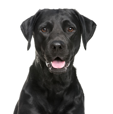 black labrador: Close-up of a Labrador in front of a white background Stock Photo