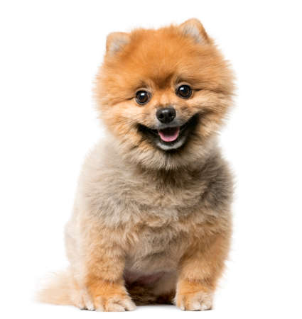 Spitz puppy sitting in front of a white background