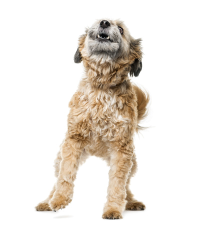 barking: Crossbreed dog barking in front of a white background Stock Photo