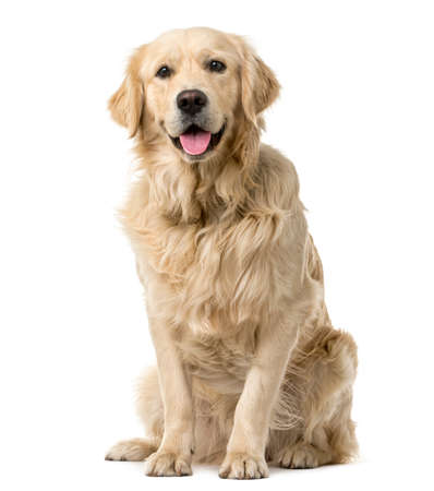 white dog: Golden Retriever sitting in front of a white background Stock Photo