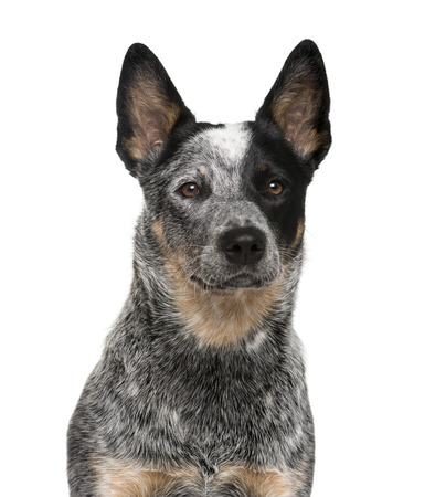 Close-up of an Australian Cattle Dog in front of a white background Stock Photo
