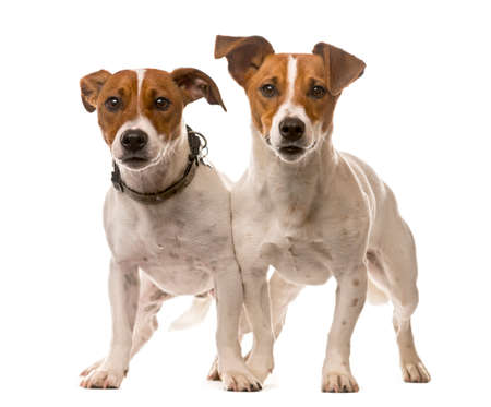 Two Jack Russell Terriers in front of a white background