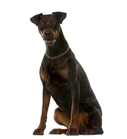 black dog: Doberman sitting in front of a white background