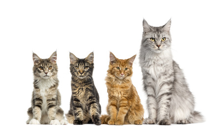 coon: Group of Maine coon sitting in front of a white background Stock Photo