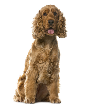 english cocker spaniel: English Cocker Spaniel sitting in front of a white background