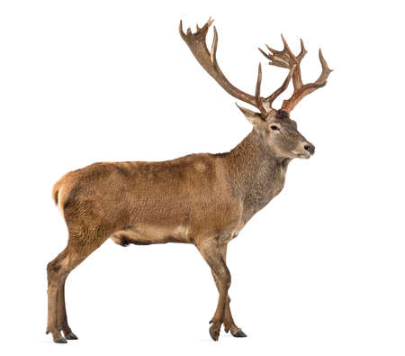 red deer: Red deer stag in front of a white background Stock Photo