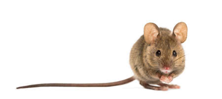 mouse: Wood mouse in front of a white background
