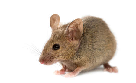 ratones: Ratón de madera delante de un fondo blanco Foto de archivo
