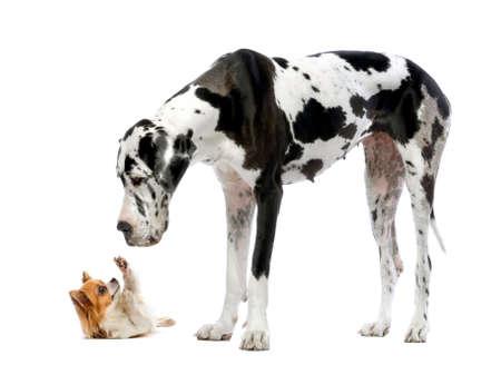 cane chihuahua: Alano guardando un chihuahua di fronte a uno sfondo bianco Archivio Fotografico