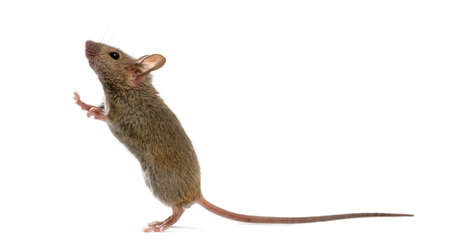 Holz Maus blickte vor einem weißen Hintergrund Standard-Bild